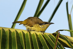 Lichenostomus versicolor (Varied Honeyeater) - Australia (Nick Dean1) Tags: lichenstromusversicolor variedhoneyeater bird birdperfect birdwatcher thewonderfulworldofbirds australia cairns honeyeater vogel oiseau