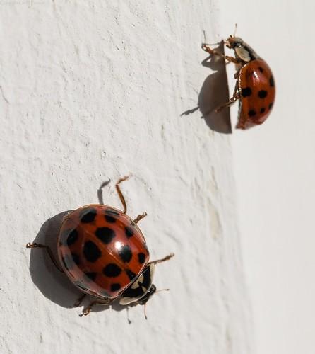 End of the ladybird season