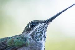 Heliomaster squamosus (Temminck, 1823) Bico-reto-de-banda-branca - Fmea  Serra Negra do Norte-RN Julho de 2015 (andersonsalv31) Tags: beijaflor natureza ornitologia nordeste fauna brasil rn