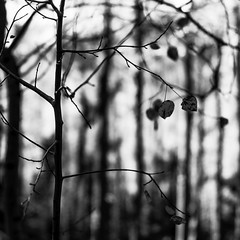 Dark Fall Leaves No. 4 (Mabry Campbell) Tags: 2016 h5d50c hasselblad houstonphotographer mabrycampbell nm newmexico october santafe santafecounty santafenationalforest tesuquecreektrail usa unitedstatesofamerica aspens autumn blackandwhite commercialphotography dark fall fineart fineartphotography image intimatelandscape landscape nature outdoors photo photograph photographer photography squarecrop trees f32 october32016 20161003campbellb0000443 80mm sec 100 hc80