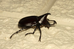 Xylotrupes ulysses  (Rhinoceros Beetle) - Australia (Nick Dean1) Tags: xylotrupesulysses beetle coleoptera scarabaeidae dynastinae animalia arthropoda arthropod hexapoda hexapod insect insecta australia cairns xylotrupes