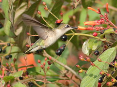 Ruby-throated Hummingbird 01-20161204 (Kenneth Cole Schneider) Tags: florida miramar westbrowardwca