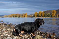 down by the river (Guido F.J. Ehlers - gfje) Tags: sonynex7 sony minoltamd2450f4 dackel dachshund ship schiff rhine rhein autumn herbst autuno cane outdoor animal pet dog