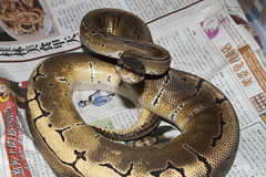 Pinstripe Ball python (fab_rice2) Tags: