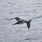 008003-IMG_5333 Pacific Diver (Gavia pacifica) thumbnail