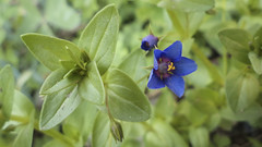 DSC00547e (niramay joshi) Tags: blue flower grass sony cybershot dsc s3000 niramay dscs3000 niramayjoshi