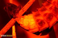 Love After Dark III (Dom Greves) Tags: uk summer male sex female night insect nocturnal wildlife beetle july surrey mating grassland invertebrate glowworm coleoptera copulation behaviour sexualreproduction lampyrisnoctiluca calcareousgrassland