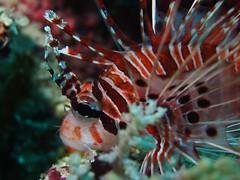 Juvenile Volitans Lionfish (NirupamNigam) Tags: fish water indonesia banda underwater resort tropical scubadiving lionfish juvenile sulawesi wakatobi tropics southernhemisphere juvenilelionfish volitanslionfish indonesiadiving bandasea southeastsulawesi
