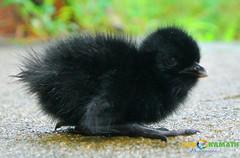 Baby White-breasted waterhen (Ganesh @bantakal.com) Tags: baby india black bird lens nikon asia karnataka v1 waterhen whitebreasted 1030mm