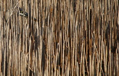 'In the Reeds' (Baltimore Bartender) Tags: greatblueheron northpointstatepark marylandbirds