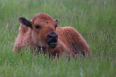 Bison resting in wet grass (fred.colbourne) Tags: canada rain animal wildlife alberta plains calf bison
