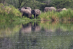 Uganda (Eugene Bakker) Tags: africa reed water river riverside flock bank elephants uganda herd drinkingplace
