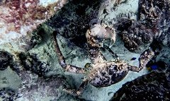 Cangrejo gigante (alejocock) Tags: ocean sea nature fauna island mar colombia peces diving submarine buceo oceano caribe caribean seaflower submarino corales subaquatic parquenacionalnatural sanandresisla subacuatico