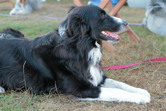Ki's Chums (sharongellyroo) Tags: dogs norfolk bordercollie waxhamsands aceagility
