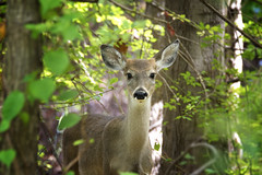 Deer in the woods looking at me (Eugene Lagana) Tags: deer woods nature sharp blur bokeh d7100 nikon architecture art birds blue canon car city clouds color dog england fast fall family fashion flower food fun garden geotagged girl graffiti green house lake landscape light live love macro model museum music new york night nude nyc ocean park people photo photography photos portrait raw red river rock summer sun sunset travel tree trees trip water white winter woman yellow zoo