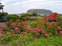 Pink roses, the township of Stanley in Tasmania and behind it the mountain at the end of a tombola called The Nut.
