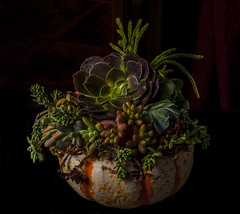 Still LIfe with Pumpkin and Succulents (Bill Gracey) Tags: stilllife color fall nature colors pumpkin colorful naturalbeauty succulents offcameraflash tabletopphotography slicesoftime yn560ii yongnuorf603n strobie130