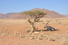 Shelter in the Namib Desert (The Spirit of the World) Tags: africa nature desert wildlife antelope namibia oryx southernafrica gemsbok blueribbonwinner namibdesert oldestdesertintheworld allnaturesparadise