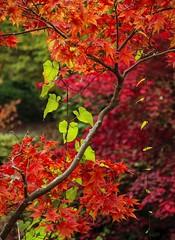 green strings (Dean Forbes) Tags: seattle autumn fallcolors arboretum washingtonparkarboretum vision:outdoor=0729 vision:plant=0854 vision:flower=0588