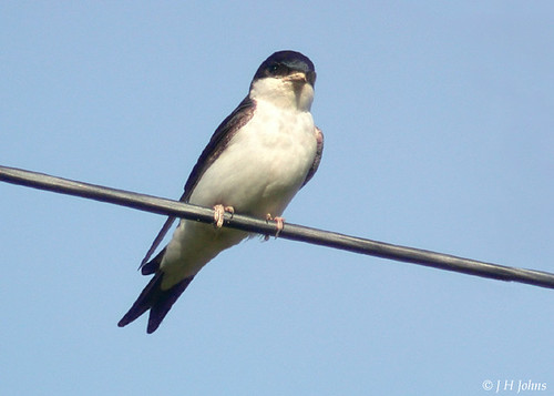 "House Martin (J H Johns) • <a style=""font-size:0.8em;"" href=""https://www.flickr.com/photos/30837261@N07/10722966735/"" target=""_blank"">View on Flickr</a>"
