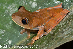 Hypsiboas geographica (Nathan Shepard) Tags: canon amazon october colombia nathan map amphibian frog treefrog shepard herpetology calcars 70d 2013 herping anuran amphibiandecline hypsiboas geographicus geographicas