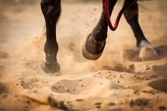 Horse dance (Piyush_Goswami) Tags: travel india photography documentary rajasthan photostory pushkarmela pushkarcattlefair piyushgoswami