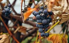 Backyard grapes (2).  Siennow village (Zyla, K. alone) Tags: autumn color fall poland polska grape backyardgarden jesie pentaxsmc thebp pentaxm5014 justpentax worldtrekker pentaxart pentaxkr siennw