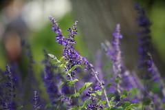 Sage (ddsnet) Tags: plant flower sony taiwan sage resolution taipei     ilc    7r  mirrorless  interchangeablelenscamera 7r ilce7r shilinresidencechrysanthemumfestival
