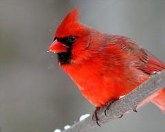 Northern Cardinal 45 Cardinalis cardinalis (egdc211) Tags: bird nature aves cardinaliscardinalis birdwatcher northerncardinal cornelllabofornithology naturewatcher newenglandbird
