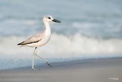 Crab plover (Sandeep Somasekharan) Tags: india beach sandy kerala waterbirds migrant wader 300mmf4 crabplover d300s sandeepsomasekharan purakkad
