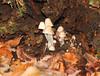 Hidden world (Kevin Keatley1) Tags: mushrooms fallentree mycena hiddenworld middevon autumnwoodlands devonwoodlands kevinkeatley