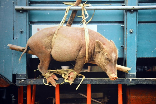 Indonesia - Flores - Pig Hanging Outside A Truck