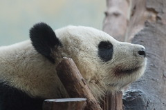 Po at Zoo Atlanta 2013-11-18 (kuromimi64) Tags: bear atlanta usa america georgia panda po giantpanda zooatlanta
