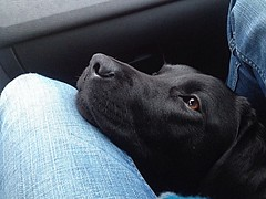 Look hows hiding under the glow department (Marthinshl) Tags: car labrador roadtrip passengers mansbestfriend mydog frontseat 2013 uploaded:by=flickrmobile flickriosapp:filter=nofilter