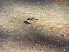 white-throated sparrow (gurdonark) Tags: park city bird birds wildlife sparrow arkansas sparrows gurdon whitethroated