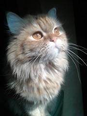 (hsam_32) Tags: pet cats pets beautiful cat kitten kitty kittens kitties egyptianmau homelesspets egyptiancats flickrandroidapp:filter=none beauw