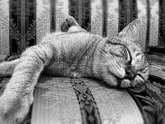 En los brazos de Morfeo (afiivan) Tags: cat sleep gato felino sueo soando