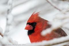 I see you Northern Cardinal (krisinct- Thanks for 12 Million views!) Tags: snow bird nikond7100sigma120300exdgapoos