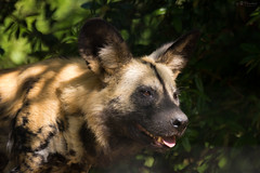 african wild dog (Cloudtail the Snow Leopard) Tags: zoo basel tier animal säugetier mammal hind afrikanischer wildhund african wild dog canide lycaon pictus cloudtailthesnowleopard
