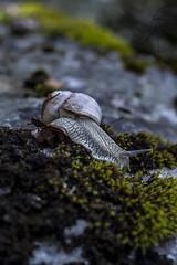 Snail (Alex Gartzo) Tags: nature animal animals rock stone moss shell snail