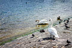 White Swan (Mathias_MK) Tags: schweiz switzerland swan luzern lucerne schwan