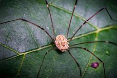 Long Leg (d_aryu) Tags: macro insect spider photomerge minolta50mmmacro grandaddylongleg a6000