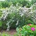 Beauty Bush (Kolkwitzia ambialis)