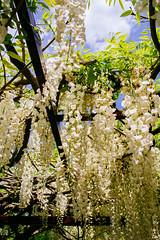 White Blooms (SaigoDon) Tags: flowers japan spring kagoshima 鹿児島県 日本 花 wisteria kyushu 九州 春 fujivelvia kirishima 藤 makizono kagoshimaprefecture 牧園 vscofilm wakikoen