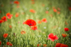 Classic Poppy (Scott Cartwright Photography) Tags: summer plant flower nature beautiful field canon landscape eos vibrant poppy growing remembrance professionalphotographer landscapephotography poppyfield canoncameras canon5dmk3 scottcartwright shrewsburyphotographer shropshirephotographer scottcartwrightphotography shropshirefreelancephotographer shrewsburyprofessionalphotographer shrewsburyfreelancephotographer