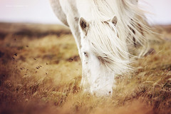 Albinoxx (Ggja Einars..) Tags: horses horse white fall colors iceland gorgeous windy albino whitehorse equine icelandic icelandichorse equinephotography slenski horsephotography einarsdottir horsephotographs gigjaeinarsdottir