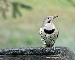 Flicker on Flickr (picturesinmylife_yls) Tags: flicker yellow shafted bird bath