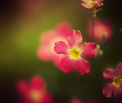 Flora in Macro (Jon-F, themachine) Tags: canon 5d dslr sir   macro  macrolens snapseed japan  nihon nippon   japn  japo xapn asia  asian fareast orient oriental aichi   chubu chuubu   outdoors  nature  plant plants  flora flower flowers