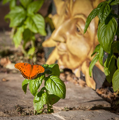 Butterfly on Basil in the Morning Sun (Fay Stout) Tags: thegarden butterfly gulffritillary sun basil