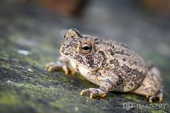 Frog Macro (AP Imagery) Tags: 100l macro 5dmkiv 5d4 nature frog animal canon 5div eye 100mm kentucky usa